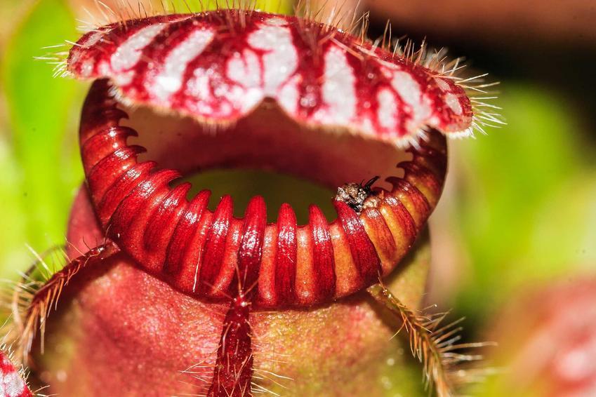 Cefalotus bukłakowaty z łaciny cephalotus follicularis oraz uparawa, pielęgnacja i hodowla roślin owadożernych w domu