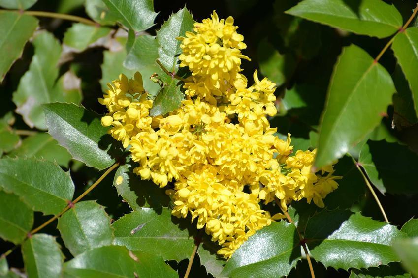 Mahonia pospolita w czasie kwitnienia i mahonia ostrolistna, mahonia aquifolium, a także owoce mahonii, rozmnażanie, przycinanie i pielęgnacja