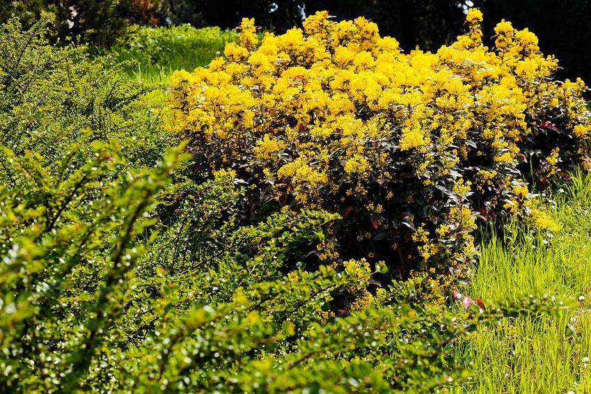 Mahonia pospolita  i mahonia ostrolistna w czasie kwitnienia, a także owoce mahonii, rozmnażanie, przycinanie i pielęgnacja