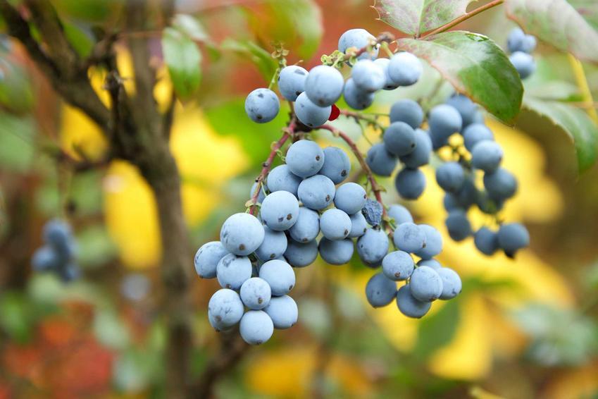 Mahonia pospolita  i mahonia ostrolistna czy mahonia aquifolium, a także owoce mahonii, rozmnażanie, przycinanie i pielęgnacja