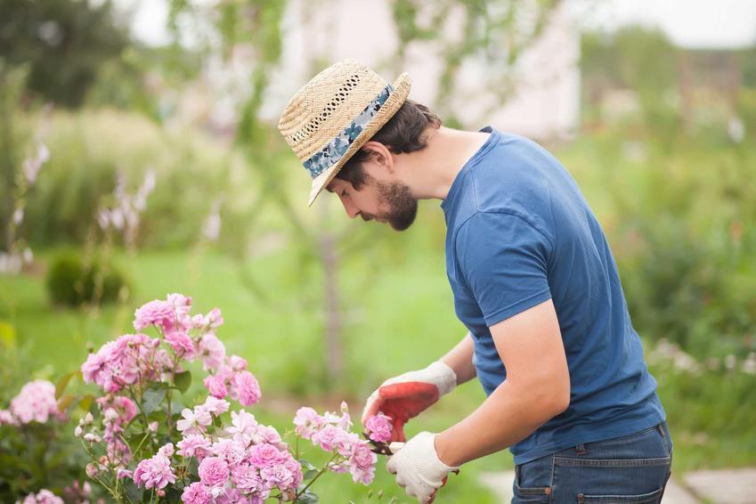 Przycinanie róż w ogrodzie przez mężczyznę, czyli cięcie róż oraz najlepsze porady, kiedy przycinać róże i jak przycinać róże