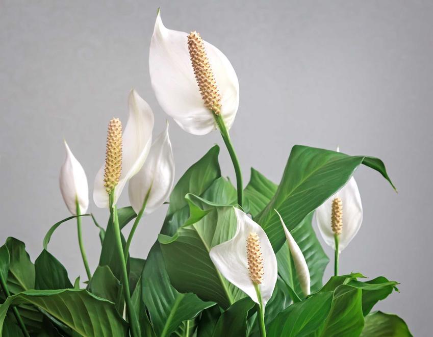 Skrzydłokwiat i kwiaty doniczkowe oraz pielęgnacja skrzydłokwiatu, a także jego choroby i uprawa: podlewanie i nawożenie