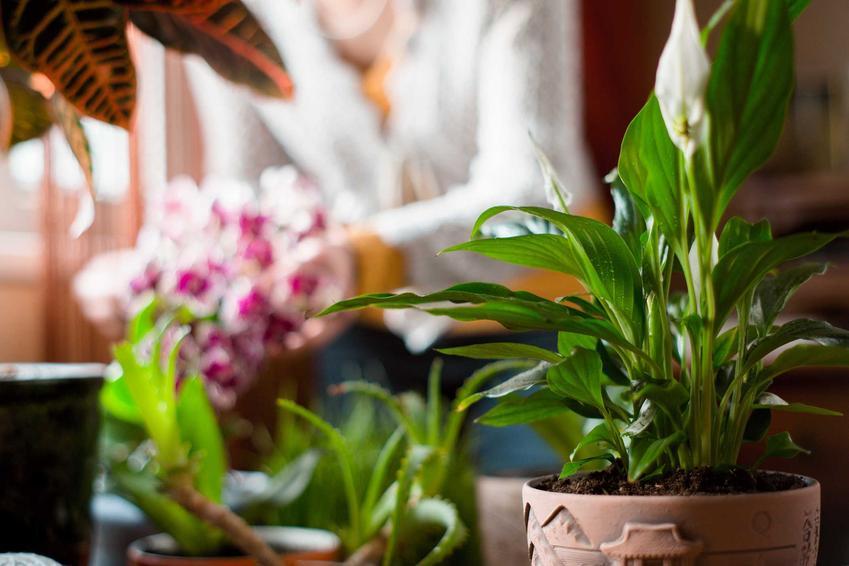 Skrzydłokwiat i inne kwiaty doniczkowe w tle oraz uprawa i pielęgnacja skrzydłokwiatu, a także jego choroby