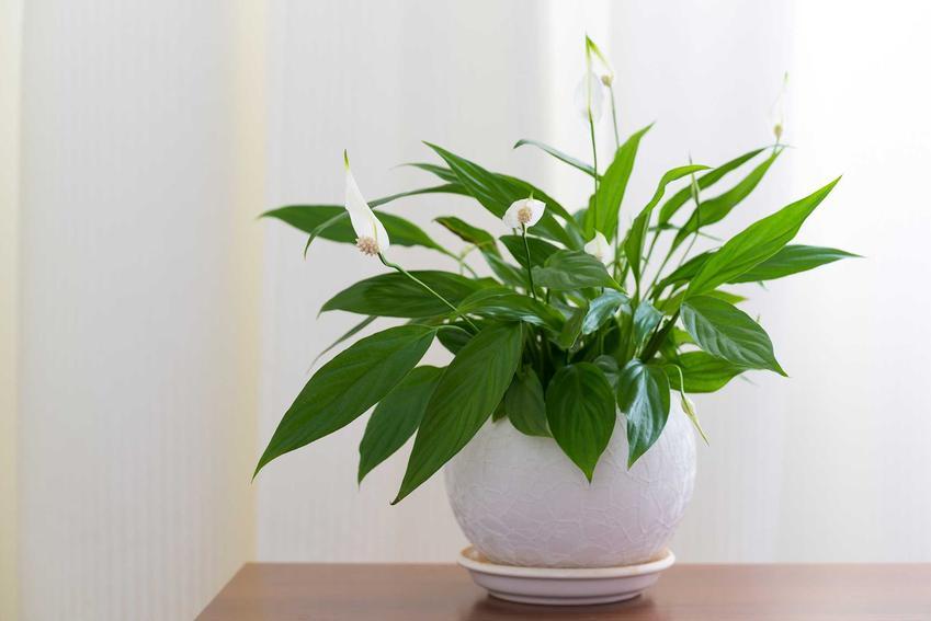 Skrzydłokwiat jako popularne kwiaty doniczkowe oraz pielęgnacja skrzydłokwiatu, choroby i uprawa krok po kroku