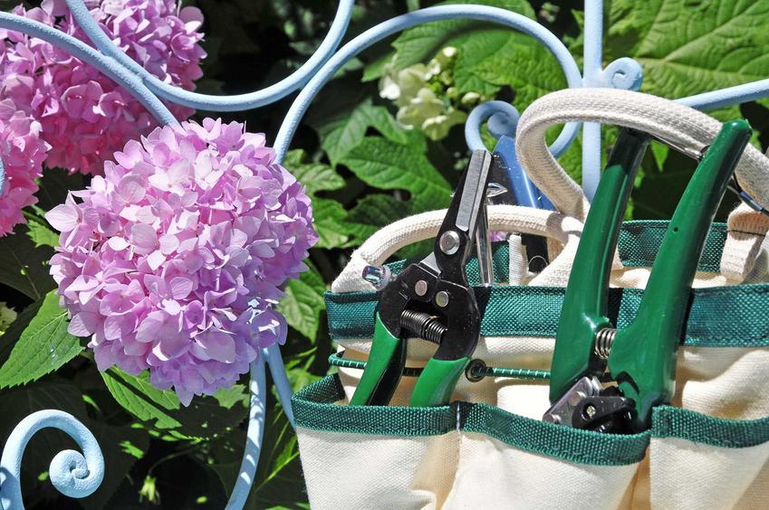 Hortensja i narzędzia, czyli cięcie hortensji bukietowej i przycinanie hortensji bukietowej, w tym wiosenne cięcie,