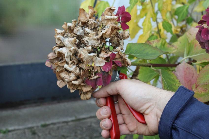 Cięcie hortensji bukietowej i przycinanie hortensji bukietowej po kwitnieniu oraz wiosenne cięcie oraz pielęgnacja