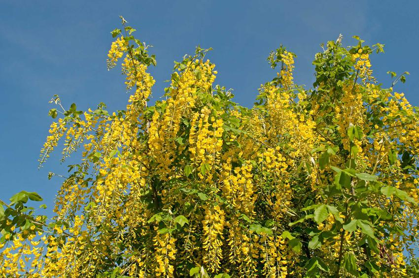 Złotokap pospolity lub złotokap zwyczajny w ogrodzie w czasie kwitnienia oraz jego uprawa, cena sadzonek, cięcie i pielęgnacja