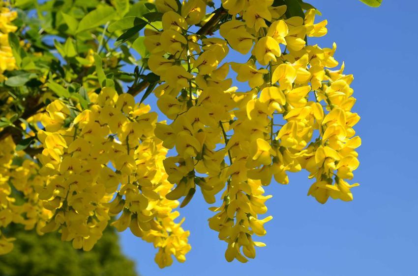 Złotokap pospolity czy też złotokap zwyczajny w ogrodzie w czasie kwitnienia oraz jego uprawa, cena, cięcie i pielęgnacja