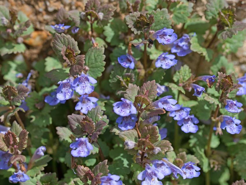 Bluszczyk kurdybanek i inne byliny do cienia, czyli rośliny do cienia i do półcienia oraz polecane kwiaty cieniolubne do ogrodu