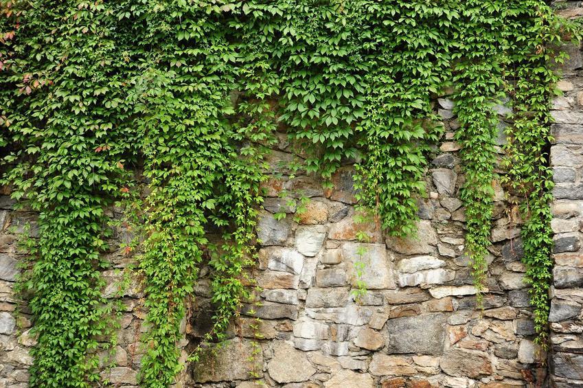 Bluszcz pospolity na ścianie i inne byliny do cienia, czyli rośliny do cienia i do półcienia oraz polecane kwiaty cieniolubne do ogrodu