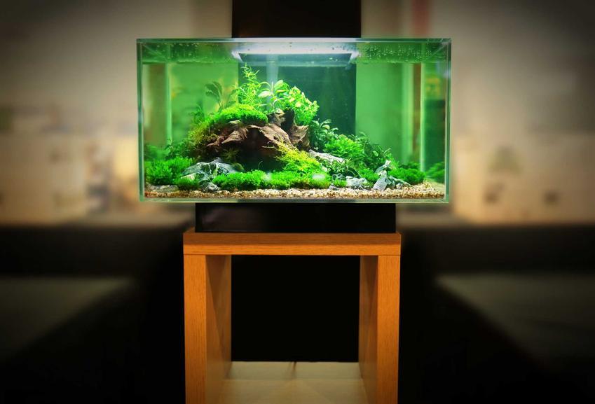 Utricularia graminifolia w akwarium jako rośliny akwariowe i jej wymagania w uprawie w wodzie w warunkach domowych