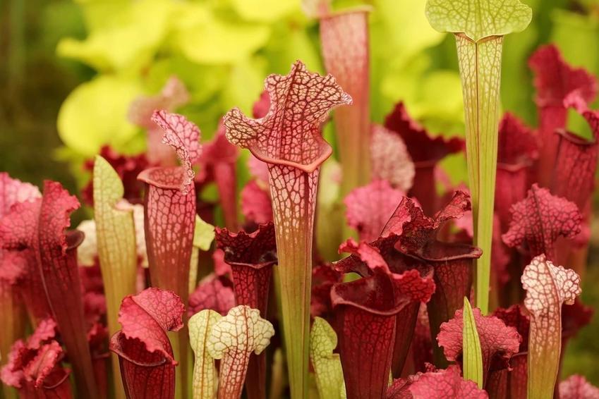 Kapturnica, na przykład kapturnica purpurowa reprezentująca rośliny owadożerne oraz jej uprawa i hodowla