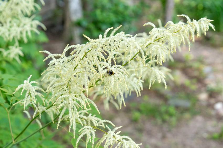 Parzydło leśne i parzydło ogrodowe i jego odmiany i opis, a także wymagania, pielęgnacja i uprawa, sadzenie oraz podlewanie