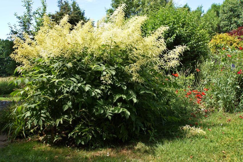 Parzydło leśne jako parzydło ogrodowe jako krzew ozdobny i jego odmiany, a także wymagania, pielęgnacja i uprawa