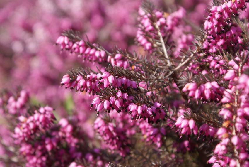 Kwiaty wrzośca krwistego czy też wrzosiec czerwony w czasie kwinienia oraz uprawa i pielęgnacja krzewu krok po kroku
