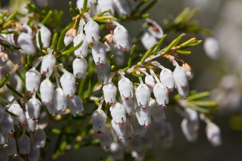 Wrzosiec drzewiasty z łaciny erica arborea oraz jego uprawa w ogrodzie, pielęgnacja oraz zimowanie i ochrona przed chłodem