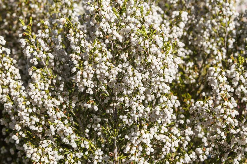 Wrzosiec drzewiasty w czasie kwitnienia w ogrodzie, z łaciny Erica arborea oraz jego uprawa, pielęgnacja i zimowanie