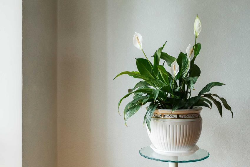 Skrzydłokwiat i inne kwiaty doniczkowe cieniolubne, czyli polecane kwiaty cieniolubne w mieszkaniu i rośliny pokojowe do cienia