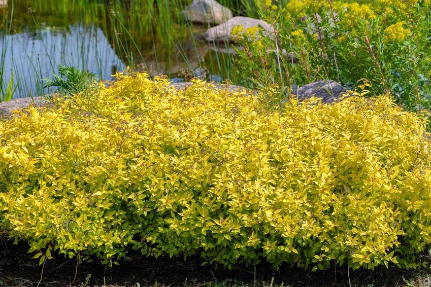 Tawuła japońska Goldmound z łaciny spirea goldmound w czasie kwitnienia oraz jej uprawa, sadzonki, odmiany, rozstawa i wymagania