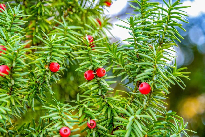 Cisy w ogrodzie jako iglaki cieniolubne oraz inne rośliny cieniolubne do ogrodu, czyli krzewy cieniolubne, kwiaty cieniolubne, byliny do cienia na rabaty i polecane gatunki