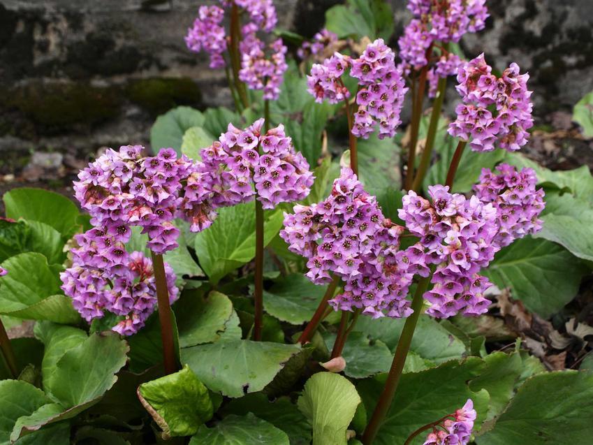 Bergenia sercowata i inne kwiaty cieniolubne oraz rośliny cieniolubne do ogrodu, w tym polecane ogrodowe kwiaty rabatowe i byliny do cienia