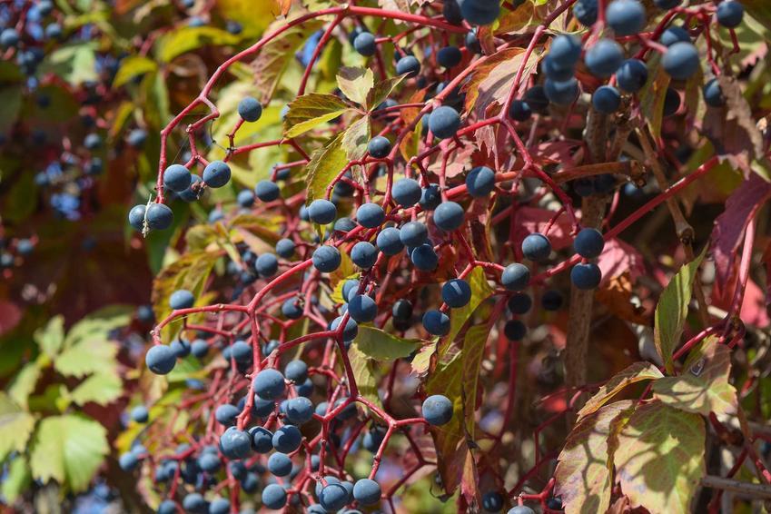 Winobluszcz pięciolistkowy Parthenocissus quinquefolia, a dokładniej owoce winobluszczu, a także sadzenie winobluszczu i rozmnażanie winobluszczu