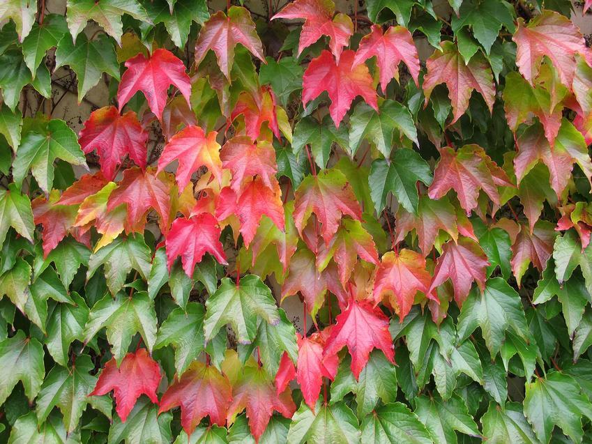 Winobluszcz pięciolistkowy i czerwone oraz zielone liście winobluszczu, a także sadzenie winobluszczu i rozmnażanie winobluszczu