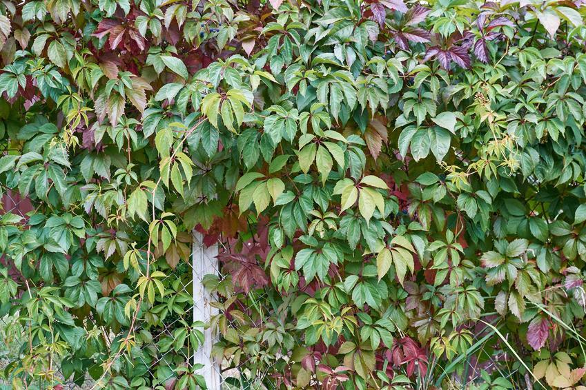 Zielony winobluszcz pięciolistkowy porastający płot oraz ozmnażanie winobluszczu i sadzenie winobluszczu w ogrodzie, a także jego cena