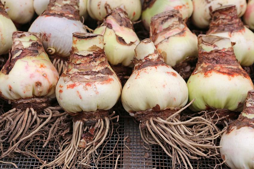 Amarylis ogrodowy i jego cebule oraz amarylis po przekwitnięciu, czyli pielęgnacja po kwitnieniu amarylisa, w tym podlewanie