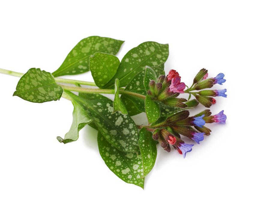 Miodunka plamista na białym tle oraz jej zastosowanie lecznice, a także ziele miodunki i jego właściwości