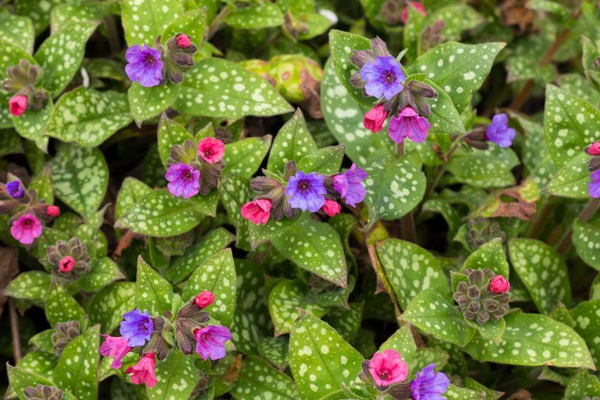 Miodunka plamista z kwiatami oraz jej zastosowanie lecznice, a także ziele miodunki, również miodunka pstra i miodunka ćma