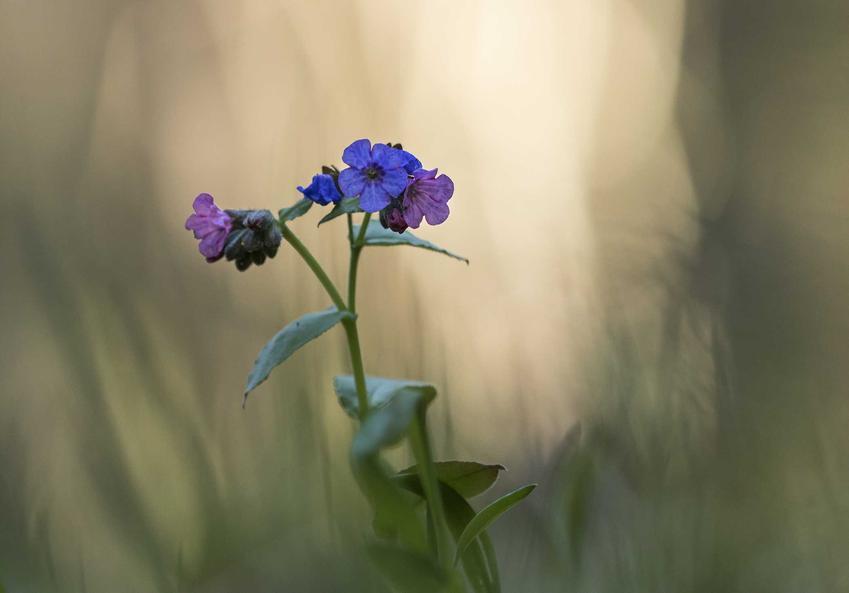Miodunka ćma w czasie kwitnienia oraz ziele miodunki i zastosowanie miodunki, a także miodunka pstra i inne gatunki miodunki do ogrodu