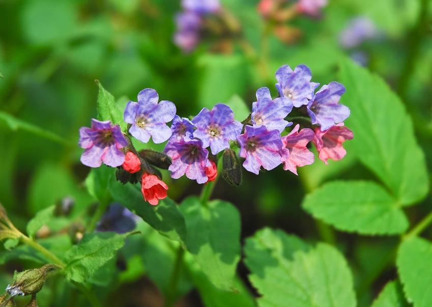 Miodunka ćma w czasie kwitnienia oraz ziele miodunki i zastosowanie miodunki, a także miodunka pstra i miodunka plamista