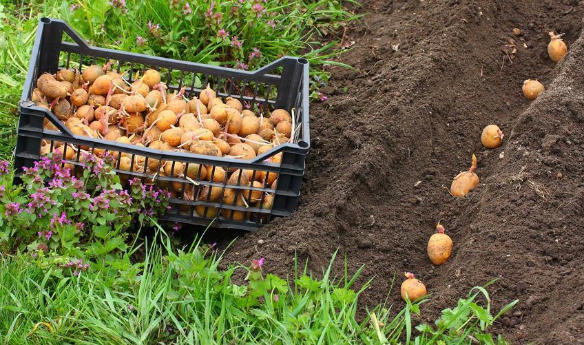 Uprawa ziemniaka czy też uprawa kartofli i sadzenie ziemniaków wczesnych, czyli ziemniaki jadalne w ogrodzie i porady, jaki nawóz pod ziemniaki jadalne