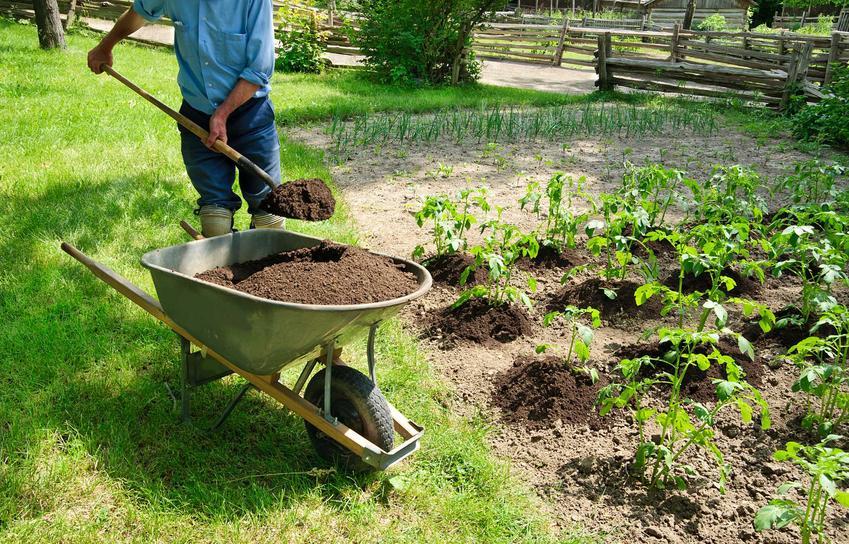 Uprawa ziemniaka czy też uprawa kartofli, czyli ziemniaki jadalne w ogrodzie i porady, jaki nawóz pod ziemniaki jadalne oraz sadzenie ziemniaków wczesnych