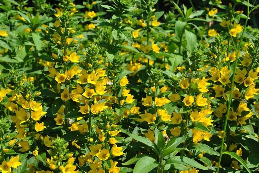 Tojeść pospolita kwitnąca w ogrodzie - odmiany, warunki uprawy, sadzenie, warunki, wykorztsanie, stanowisko oraz pielegnacja