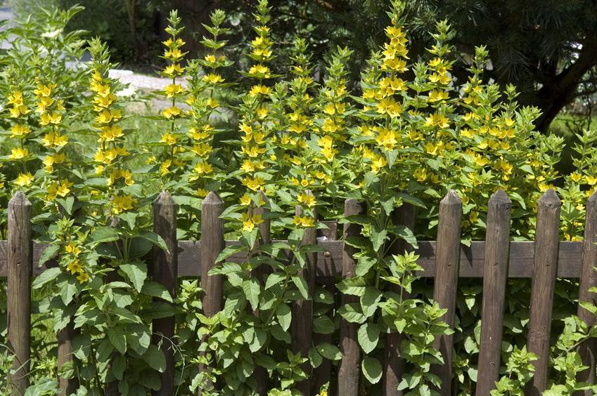 Tojeść kropkowana na rabaty, tojeść w ogrodzie w czasie kwitnienia - odmiany, warunki uprawy, ciekawe aranżacje, pielęgnacja