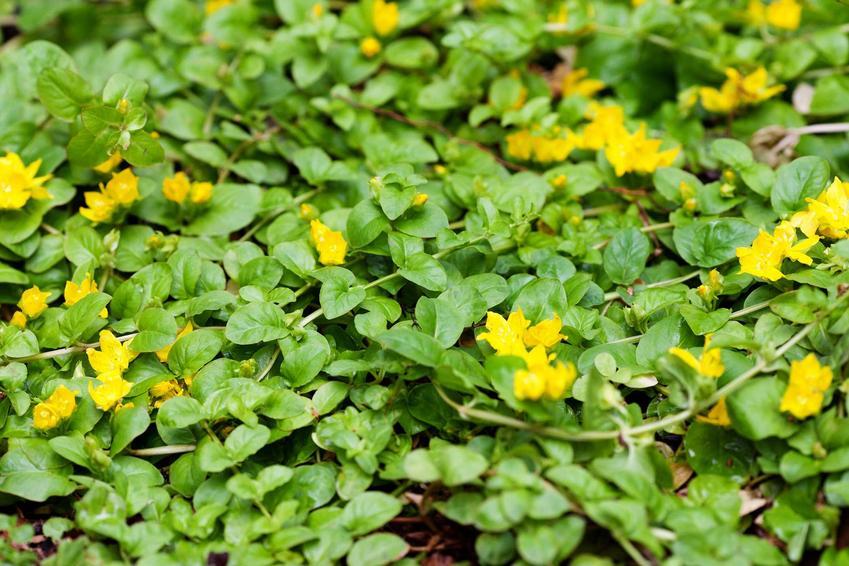 Tojeść rozesłana z łaciny lysimachia nummularia, czyli tojeść w ogrodzie i jej uprawa oraz pielęgnacja