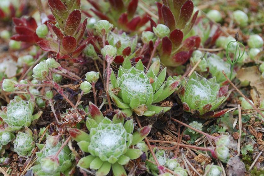 Rojnik pajęczynowaty z łaciny Sempervivum arachnoideum na skalniak oraz jego podlewanie, pielęgnacja, sadzenie i uprawa