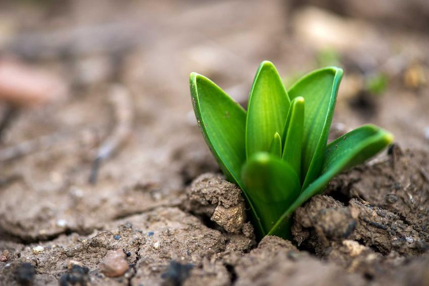 Rosnący hiacynt, czyli porady, kiedy sadzić hiacynty i kiedy sadzić cebulki hiacyntów, a także cebulki hiacyntów i przesadzanie hiacyntów