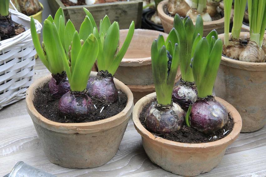 Cebulki hiacyntów w doniczkach, czyli porady, kiedy sadzić hiacynty i kiedy sadzić cebulki hiacyntów, a także przesadzanie hiacyntów