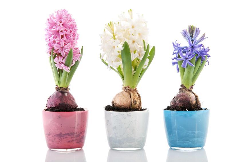 Hiacynt w doniczce o różnych kolorach, a także podlewanie hiacyntów oraz pielęgnacja hiacynta w ogrodzie i w doniczkach