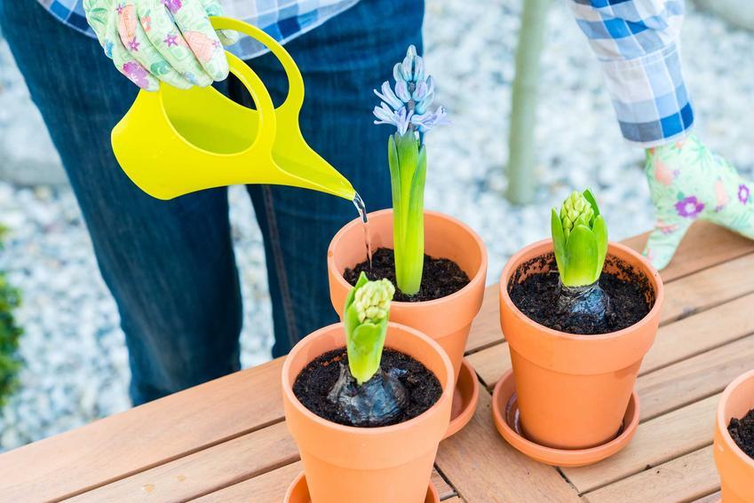 Hiacynt w doniczce i podlewanie hiacyntów oraz pielęgnacja hiacynta w ogrodzie i w doniczkach na balkonie i w mieszkaniu