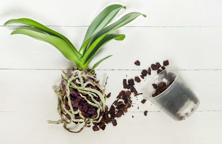 Rozmnażanie storczyków i rozsadzanie storczyków, czyli porady, jak rozmnażać storczyki i jak zaszczepić storczyka