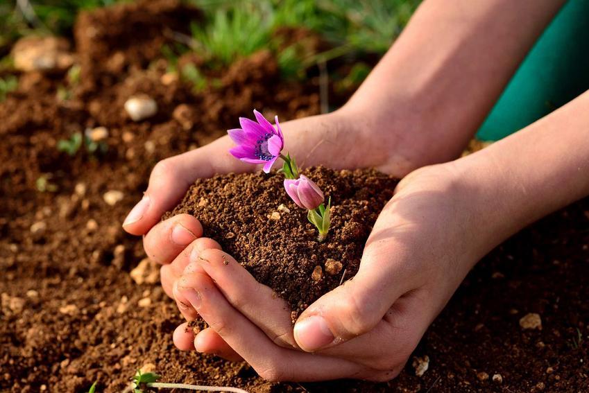 Różowy kwiatuszek na dłoniach z garścią ziemi oraz przedwiośnie w ogrodzie i zagrożenia z nim związane