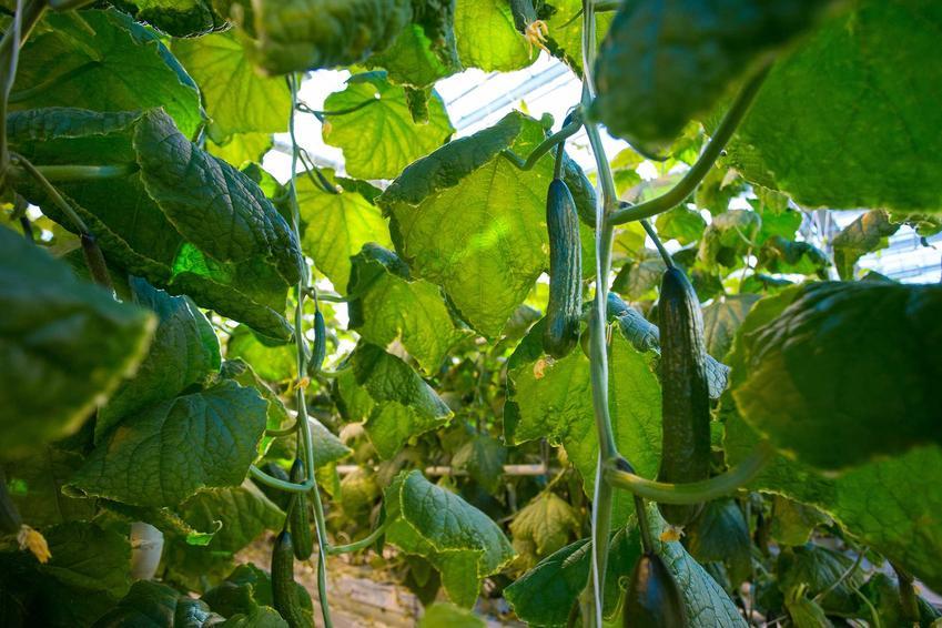 Uprawa ogórków w szklarni, a także odmiany ogórków, w tym ogórki gruntowe i rodzaje ogórków gruntowych oraz ogórki szklarnikowe czy ogórki wężowe