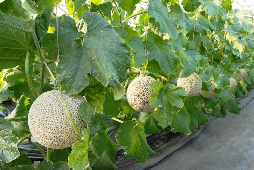 Melon oraz uprawa melona w gruncie, a także odmiany melona, sadzenie melonów i sadzenie melonów, w tym melon miodowy czy melon melba