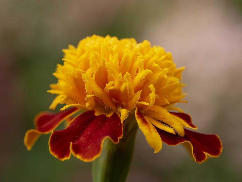Aksamitka rozpierzchła w ogrodzie jako pojedynczy kwiat oraz jej odmiany, w tym aksamitka rozpierzchła pełna i uprawa