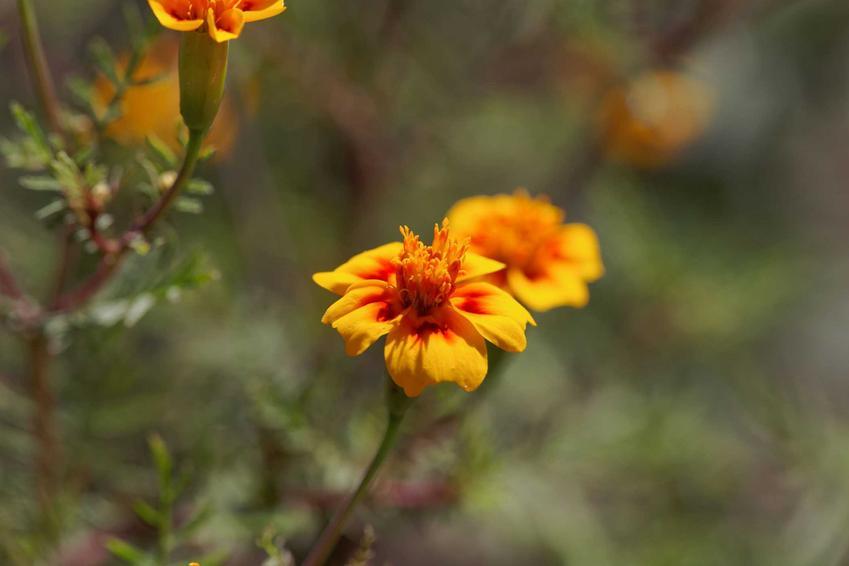Aksamitka wąskolistna z łaciny tagetes tenuifolia w ogrodzie oraz jej uprawa i polecane odmiany, w tym aksamitka lulu