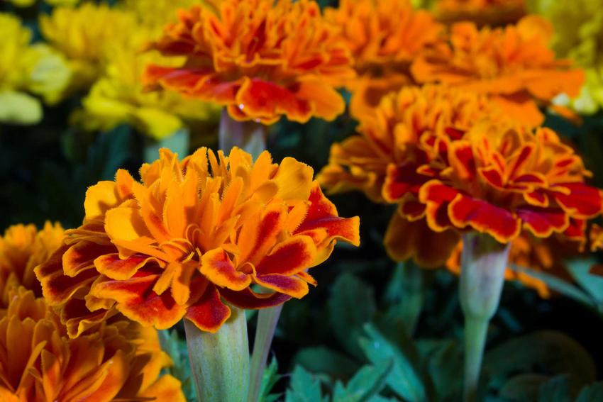 Aksamitka, czyli kwiaty turki w ogrodzie oraz wysiew aksamitki do gruntu oraz kwiaty aksamitki w domu i termin siewu